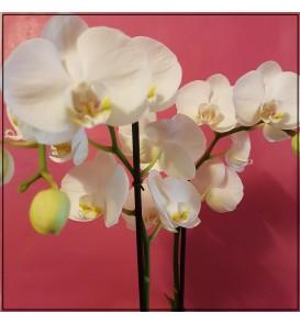 Fleuriste Leloup-Phalaenopsis blanc