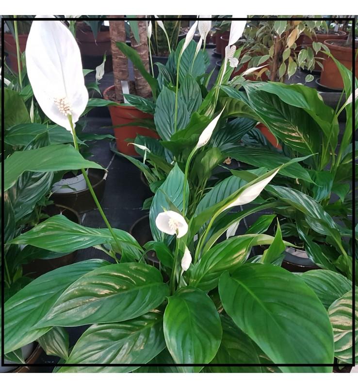 Fleuriste Leloup-Spathiphyllum
