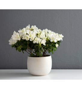 Fleuriste Leloup-Azalée blanche