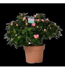Fleuriste Leloup-Azalée rose