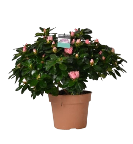 Roze azalea
