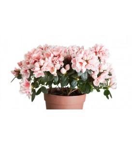 Roze en witte azalea