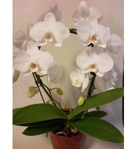 Fleuriste Leloup-Phalaenopsis arceau blanc