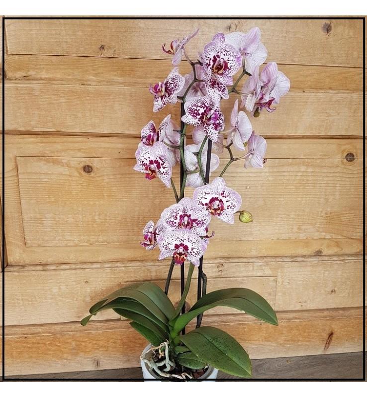 Fleuriste Leloup-Phalaenopsis fushia tacheté