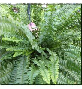 Fleuriste Leloup-Néphrolepis (Fougère)