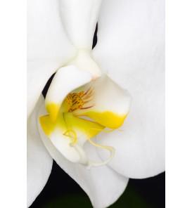Witte phalaenopsis