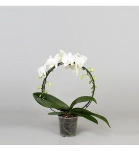 Phalaenopsis white arch